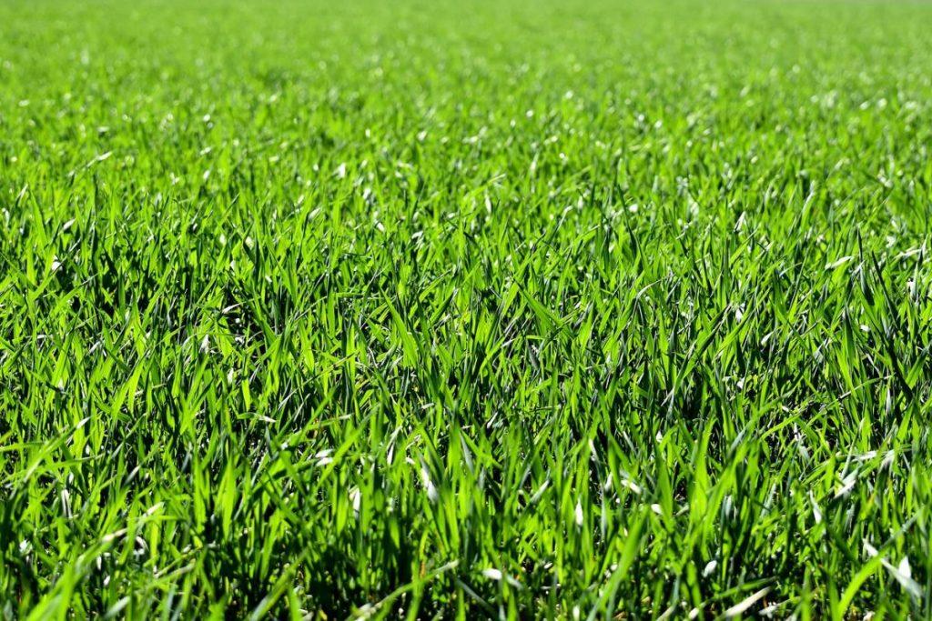 لون العشب